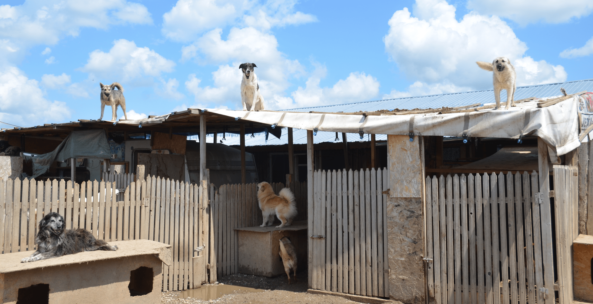 Street dogs of Swaziland line the roof of their makeshift shelter