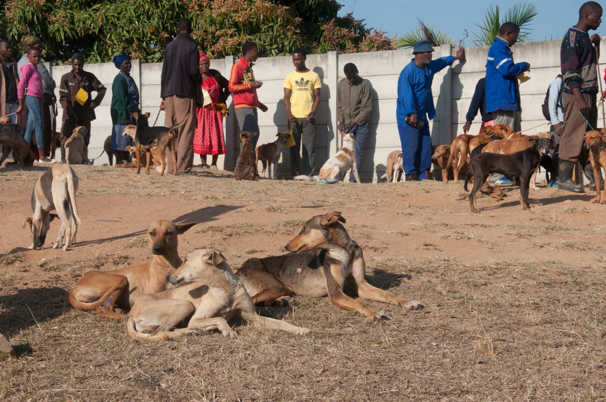 Stray dogs in Swaziland waiting to receive urgent care and veterinary treatment